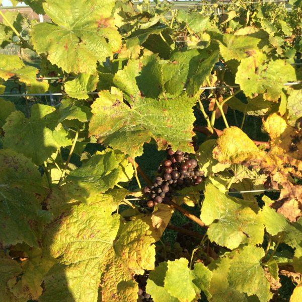 Summer at the vineyard 1